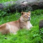 Lioness — Stock Photo #34184599
