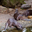 Clawed otters.  An Oriental Small Clawed Otter — Stock Photo