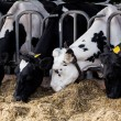 Cows in a farm. Dairy cows in a farm. — Stock Photo