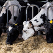 Foto Stock: Cows in farm. Dairy cows in farm.