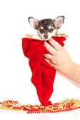 Chihuahua köpek noel — Stok fotoğraf