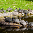 Turtles Sunning.  Tortoises Doing Sunbath — Stock Photo