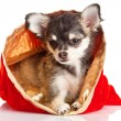 Chihuahua puppy for Christmas — Stock Photo