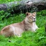 Lioness — Stock Photo #34227697