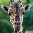 Close up shot of giraffe head. Giraffe portrait — Stock Photo