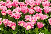 Beautiful tulips field. Beautiful spring flowers. — Stock Photo