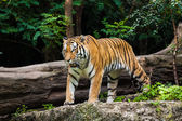 Tiger in the zoo — Stock Photo