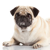 Pug dog isolated on a white background — Stock Photo