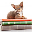 Dog on books. — Stock Photo