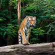 Tiger at the zoo — Stock Photo