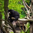 American black bear  on a tree. — Stock Photo