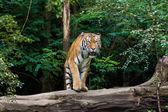 Tiger at the zoo — Stock Photo