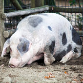 Pig at the zoo — Stock Photo