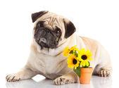Mops hunden isolerade på en vit bakgrund — Stockfoto