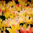Stock Photo: Colorful tulips.