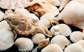 Sea shell on black background — Stock Photo