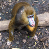 Portrait of a mandrill. — Stock Photo