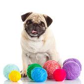 Pug dog isolated on a white background — Stock Photo