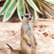 Meerkat or Suricate. — Stock Photo #37665993