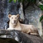 White lion. — Stock Photo #37666109