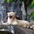 White lion. — Stock Photo