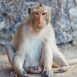 Stock Photo: Monkey.