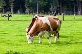 Cow in the field. Cow grazing in fresh pastures — Stock Photo