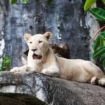 White lion. — Stock Photo #37692387