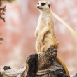 Meerkat or Suricate. — Stock Photo #37692403