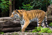 A Tiger — Stock Photo