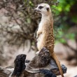 Meerkat or Suricate. — Stock Photo #37785889