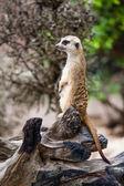 Meerkat lub suricate. — Zdjęcie stockowe