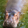 Stock Photo: Hippopotamus.