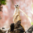 Meerkat or Suricate. — Stock Photo #38217425