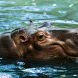 Hippopotamus — Stock Photo #38220223