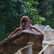 Stock Photo: Orangutdrinking urine