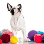 French Bulldog  puppy — Stock Photo #38269771