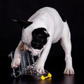 Bulldog playing with a supermarket cart — Stock Photo