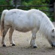 Stock Photo: White pony