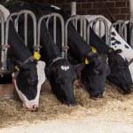 Cows on Farm — Stock Photo