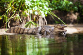 Caiman crocodilus — Stock Photo