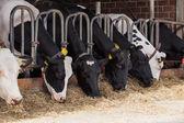 Kor på gården — Stockfoto