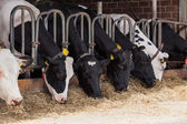 農場で牛 — ストック写真