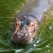 Hippopotamus — Stock Photo #38431851