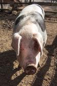 Swabian Pig, German Breed — Stok fotoğraf