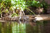 Caiman crocodilus. young alligator — Stock Photo