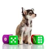 čivava. roztomilý čivava pes na bílém pozadí. — Stock fotografie