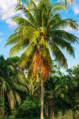 Coconut tree. Coconut Fruit on palm tree — Stock Photo