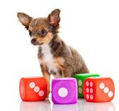 Chihuahua dog — Stock Photo