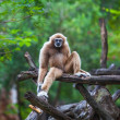 Stock Photo: White gibbon